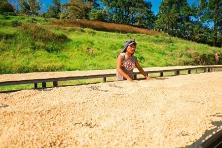 Kaffee-Fermentierung an der Sonne